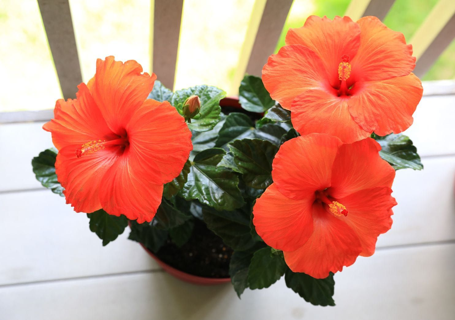 The Sultry Plant That Will Break Your Heart Hibiscus Flower Pots Hibiscus Flowers