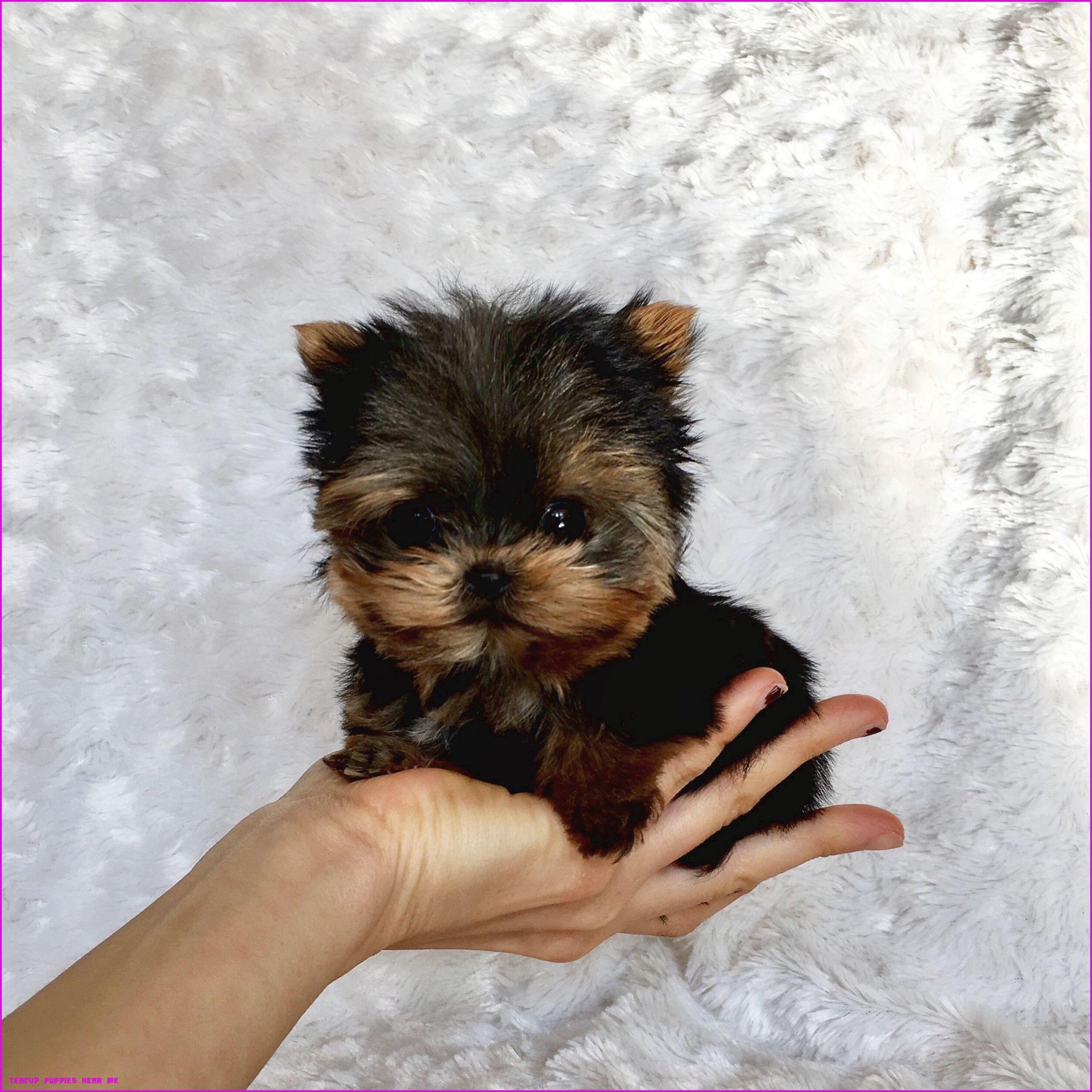 The Hidden Agenda Of Teacup Puppies Near Me Teacup Puppies Near Me In 2020 Puppies For Sale Teacup Puppies Yorkshire Terrier Puppies