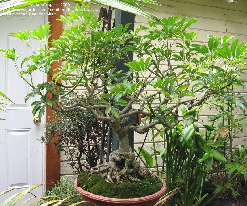 Schefflera Arboricola Schefflera Umbrella Tree Plants