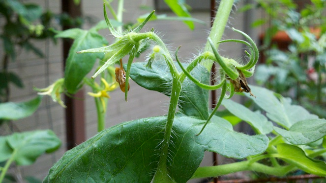 Tomato Plants Not Setting Fruit Here's Why Tomato 400 x 300