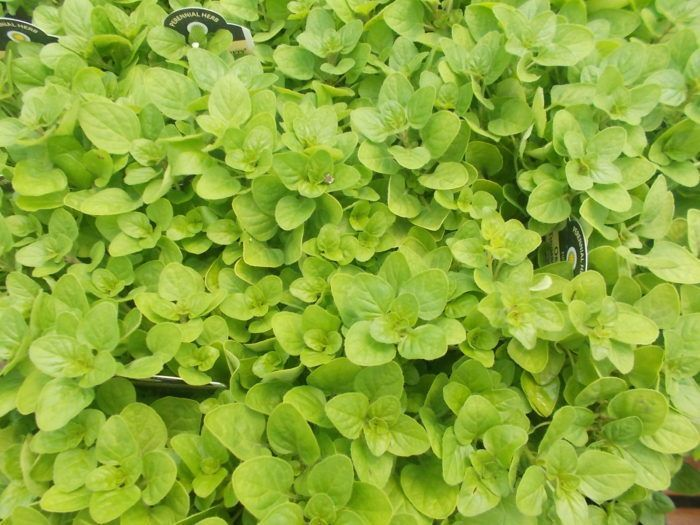 plants-that-repel-bugs -Oregano Greek oregano is the gold ...