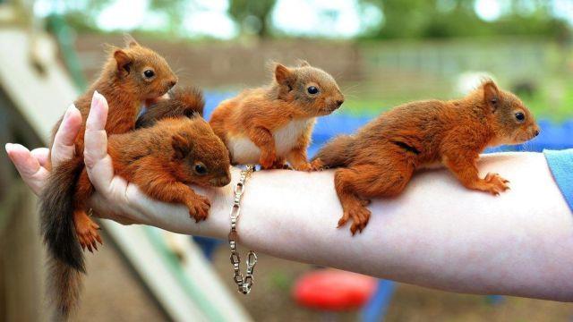 Arm Full Of Baby Squirrels Baby Squirrel Cute Animals Cute Squirrel