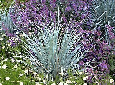 Die Schönsten Gräser Für Den Garten elymus magellanicus magellangras syn agropyron magellanicus