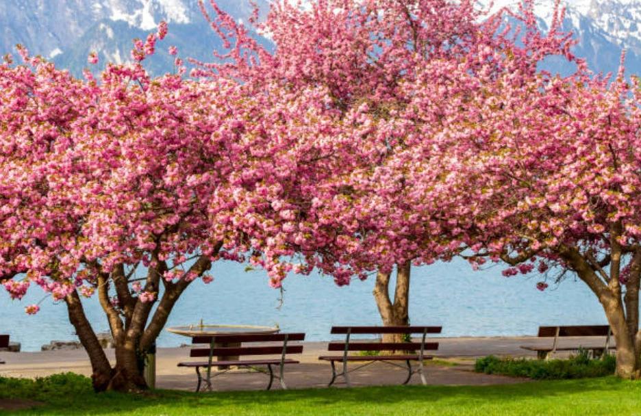 Kwanzan Cherry Tree Flowering Cherry Tree Kwanzan Cherry Flowering Trees