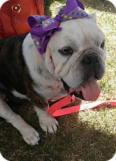 Houston Tx English Bulldog Meet Myrtle A Dog For Adoption