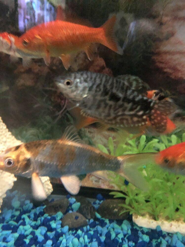 Neon Dwarf Gourami Tropical Fish Aquarium Freshwater Aquarium Fish Live Aquarium Fish