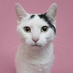 Wilmington, Delaware Domestic Shorthair. Meet Mo, a for