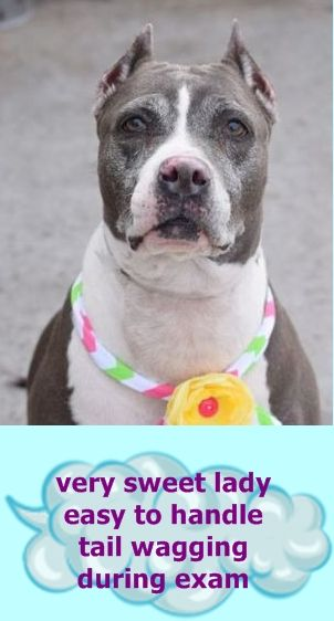 HAPPYTEARS❤️❤️❤️❤️❤️ FINALLY SAFE 5/5/16❤️ PLEASE LOVE HER FOREVER❤️ SUPER URGENT Brooklyn Center CINDY aka DAISY – A0954648 **RETURNED 03/25/16** SPAYED FEMALE, GRAY / WHITE, AM PIT BULL TER MIX, 6 yrs STRAY – STRAY WAIT, HOLD FOR ID Reason STRAY Intake condition UNSPECIFIE Intake Date 03/25/2016 http://nycdogs.urgentpodr.org/cindy-aka-daisy-a0954648/