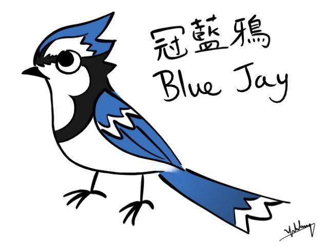 how to draw blue jay beginner