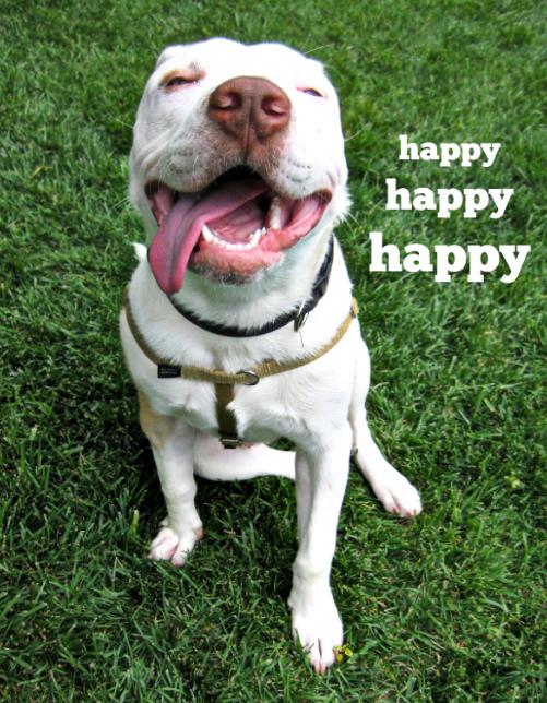 Franco Pitbull Puppies Rescue Dogs Alpha Dog