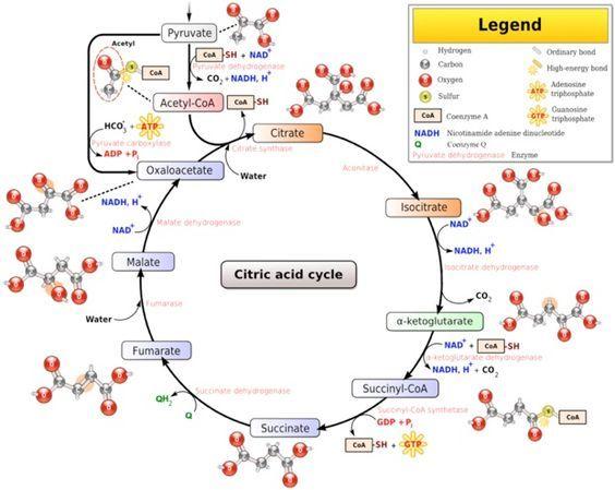 Glucose Metabolism Diagram Pics For Glucose Metabolism Diagram