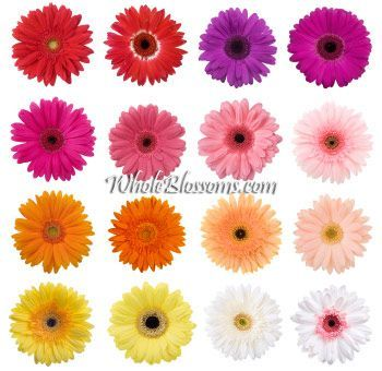 Gerberas Choose Your Color 200 Stems With Images Daisy Wedding Flowers Gerbera Daisy Wedding Flowers Wedding Flowers Summer