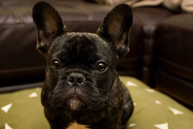 Rocco French Bulldog 3 French Bulldog French Bulldog Pictures Cute French Bulldog