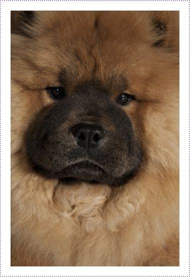 Liontamer Pazzazz Chows Chow Chow Dog Puppy Chow Chow Chow