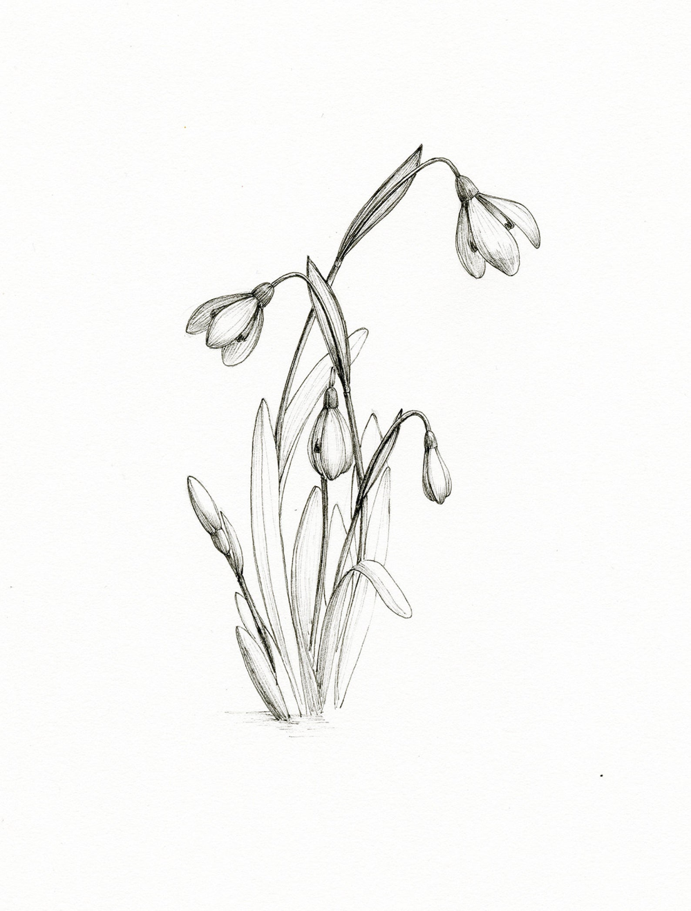 Original Floral Ink Illustration Snow Drops Botanical Ink Etsy In 2020 Ink Illustrations Botanical Illustration Black And White Flower Drawing