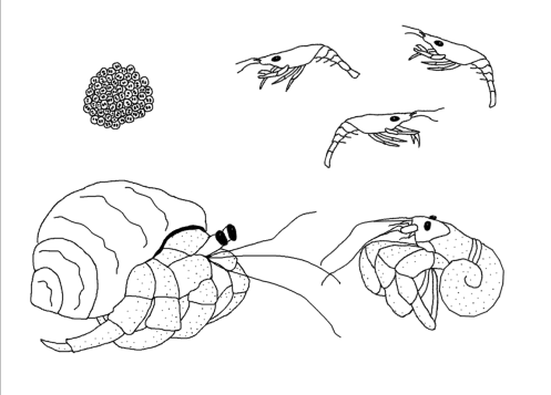 hermit crab life cycle coloring page Maybe even painting a
