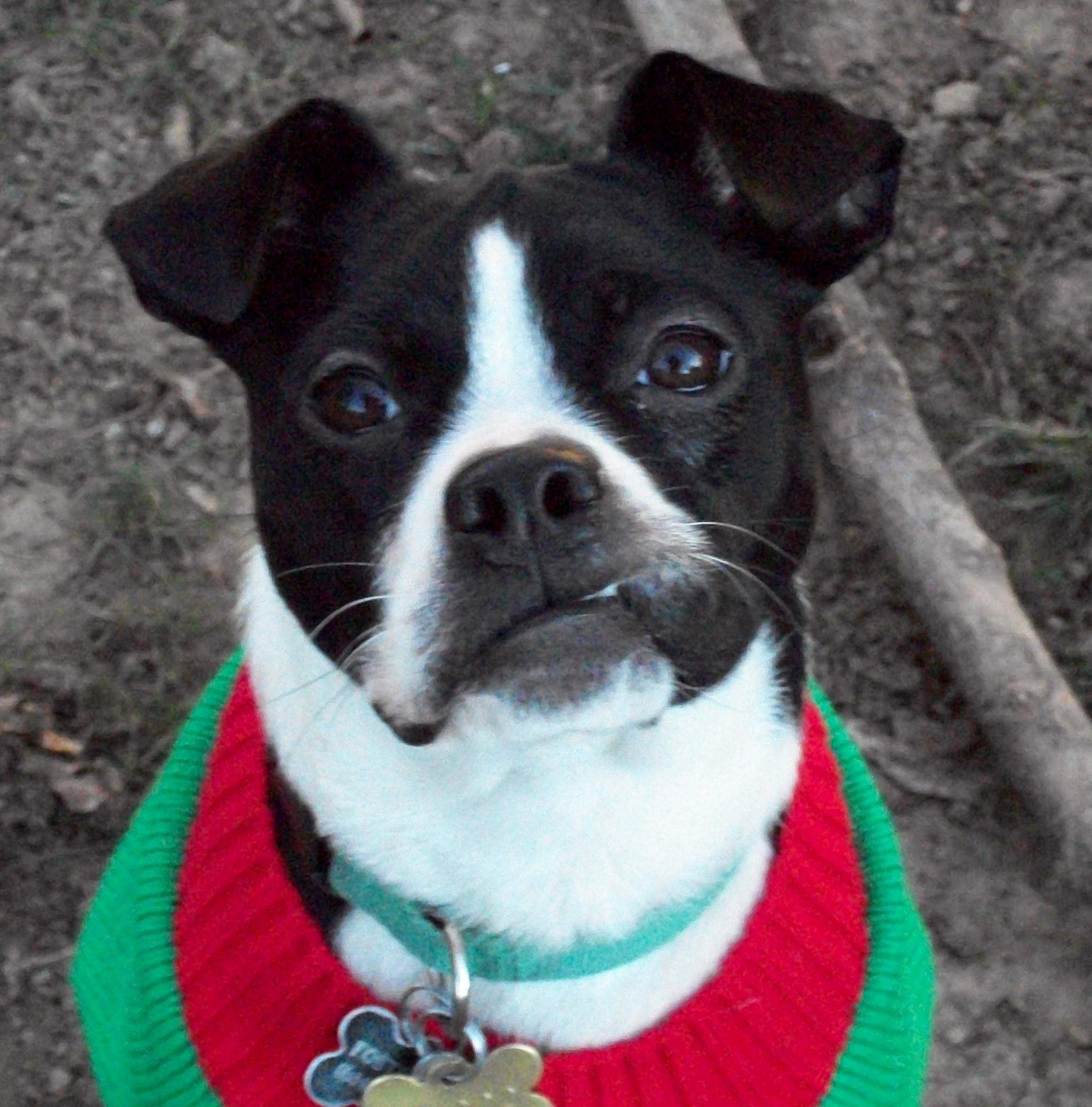Adopt Foxy (Watch my video!) on Boston terrier dog