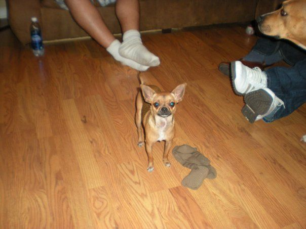 Roxy (chihuahua) my mamasita