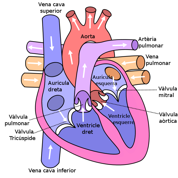 In This Diagram They Are Showing The Function Of The Heart As They Have Labels To The Parts Of Human Anatomy And Physiology Human Heart Diagram Heart Diagram