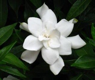 How To Root Gardenias Using My Grandmother S Method Gardenia