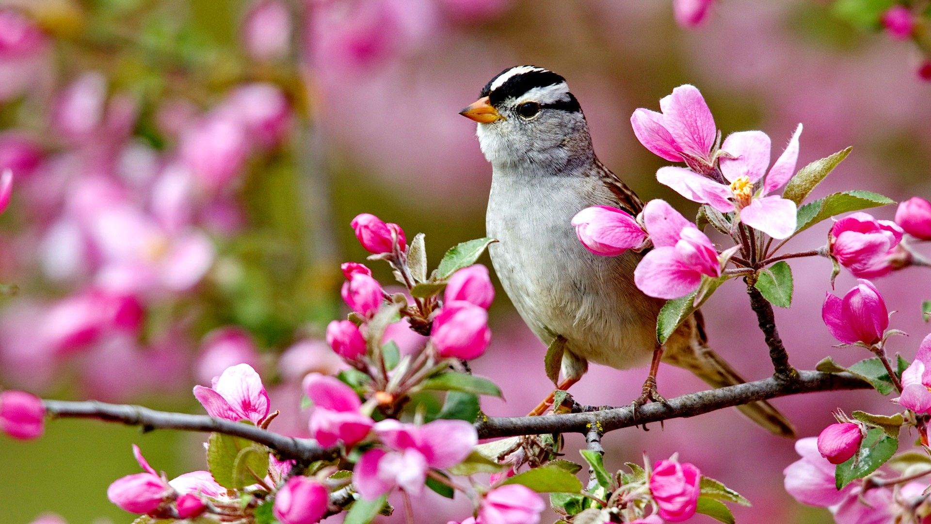 Flowers Bird Spring Flowers Colorful Forces Nature Colors Birds Splendor Pink Tree Buds Landscpae Lovely P Fruhling Wallpaper Fruhlingstiere Hintergrund Vogel