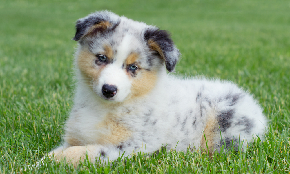 Australian Shepherd Dog Breed Information Dognutrition Com Circle K Farms Teacup Tiny Toys Toys And Miniatur In 2020 Australian Shepherd Australian Shepherd Dogs Dogs