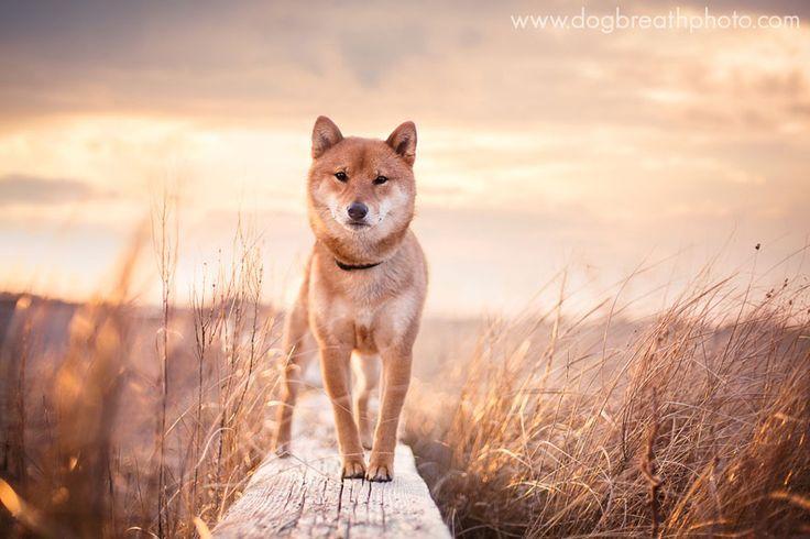 Fotografin lebt ihren Traum, indem sie ausdrucksstarke und verspielte Hundefotos macht   - Shibes