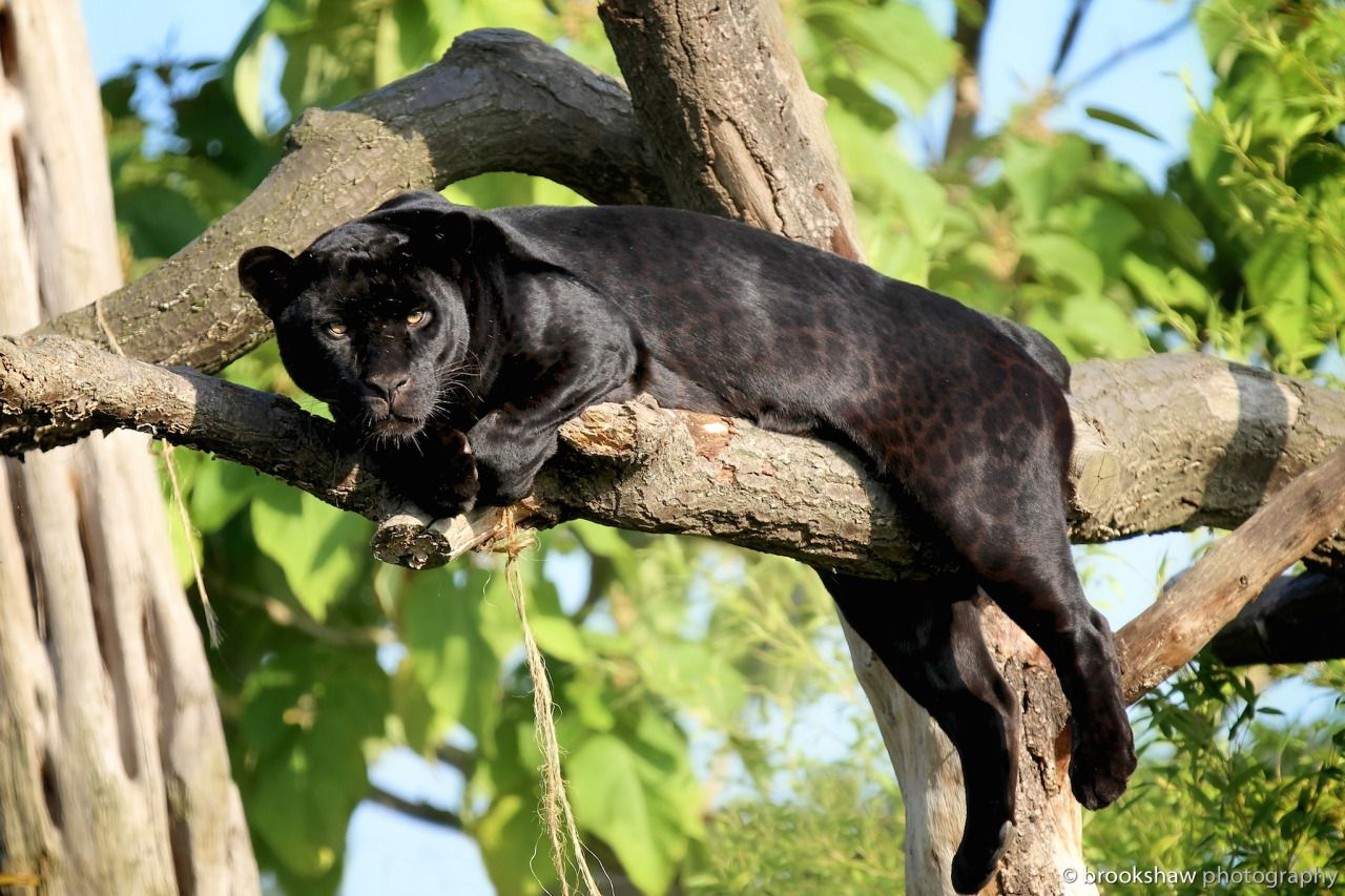 Goshi The Female Black Jaguar At Chester Zoo Relaxing In A Tree