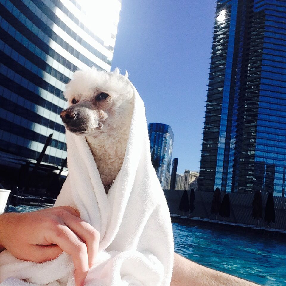 Vdara Luxury Pet Friendly Hotel At City Center Las Vegas On The Strip Georgie