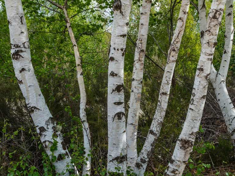 Betula pubescens downy birch with images white birch