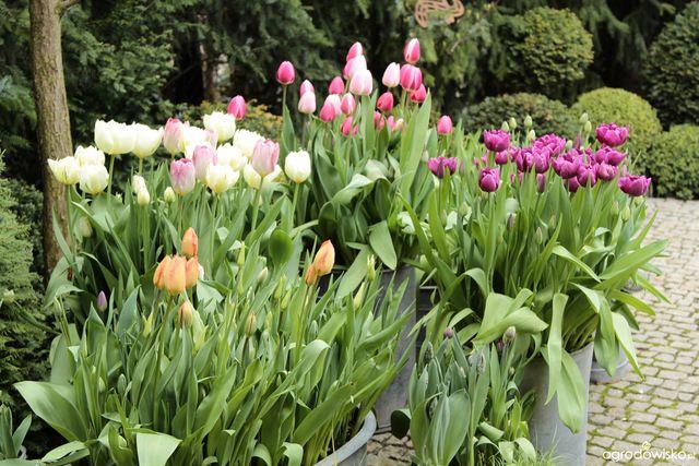 Galeria Zdjec Warstwowe Sadzenie Roslin Cebulowych W Duzych Pojemnikach Ogrodowisko Plants Garden