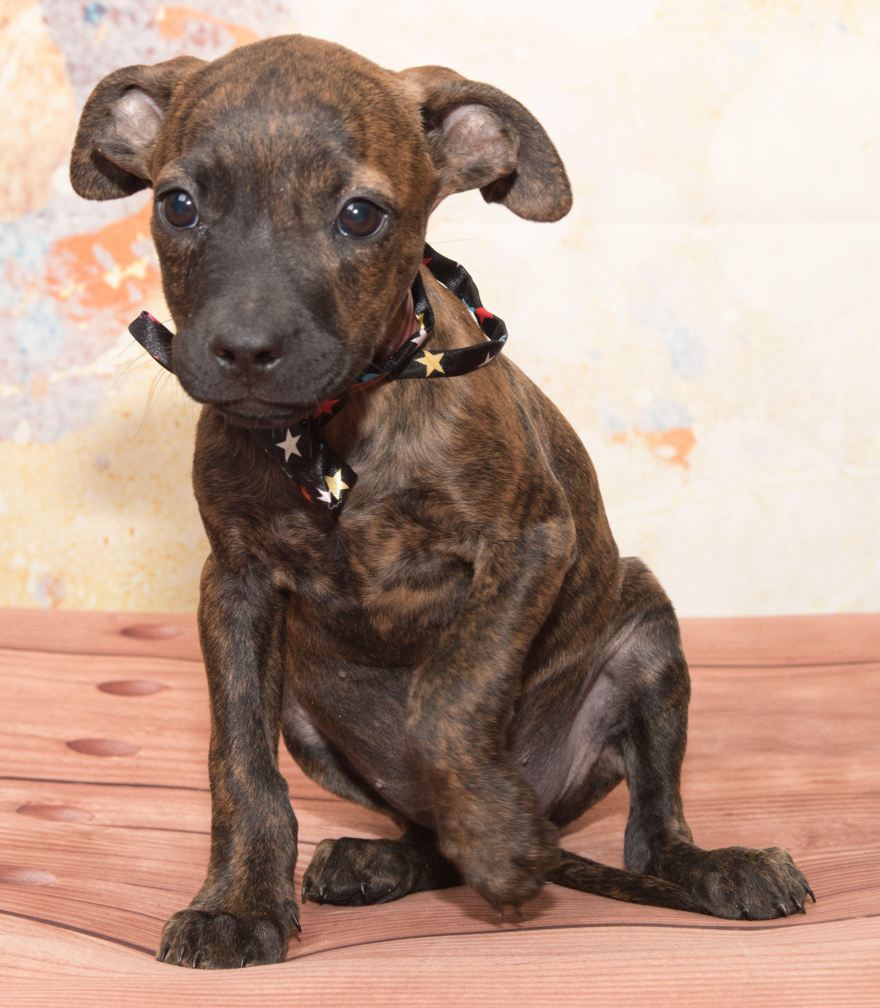 Boxador dog for Adoption in Denver, CO. ADN659785 on