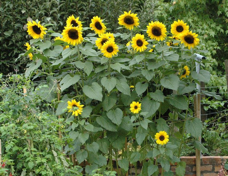 Sunflowers In A Row.definitely Want To Make A Raised Garden Bed For The  Kids In Front Of The Swingset