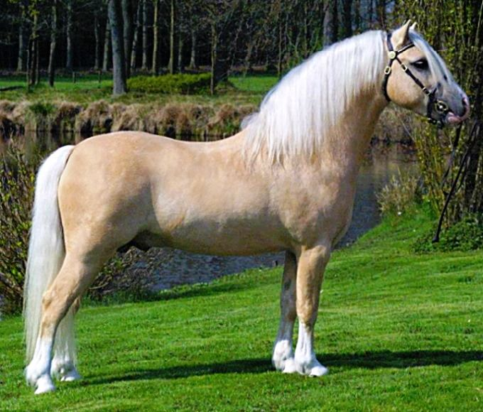 Palomino Welsh Mountain Pony section A stallion, Ysselvliedts - best of welsh pony coloring pages
