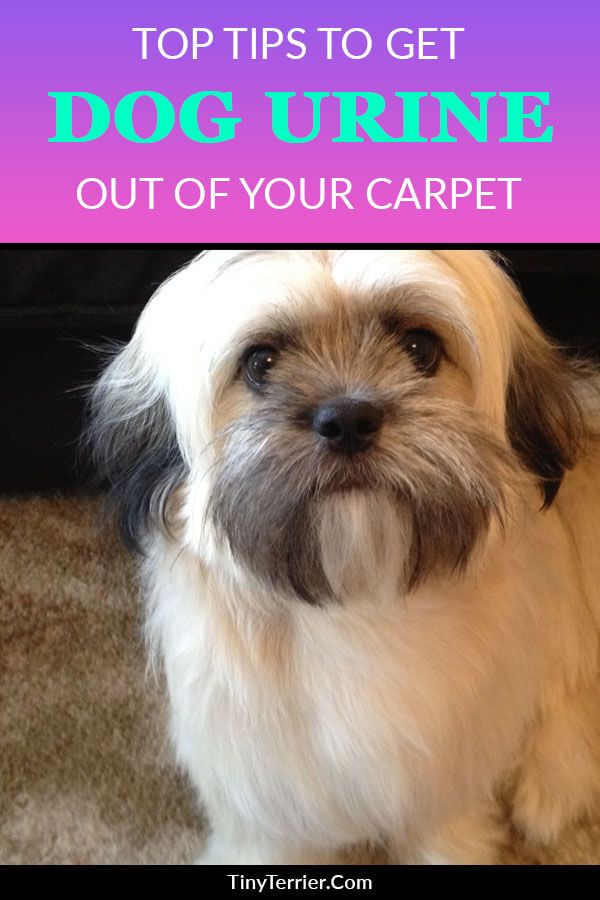 How To Get Dog Urine Stains Out Of The Carpet Good Dog