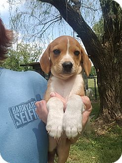 Glastonbury Ct Beagle Mountain Cur Mix Meet Rose A Puppy For
