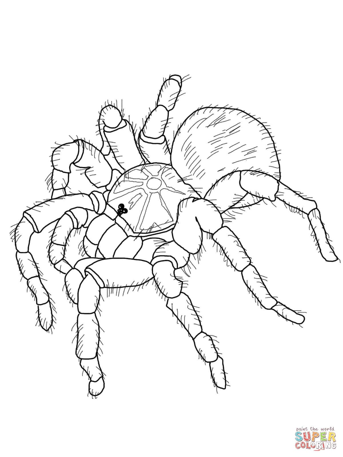 Vogelspinnen Ausmalbilder Ausmalbilder Vogelspinnen Animal
