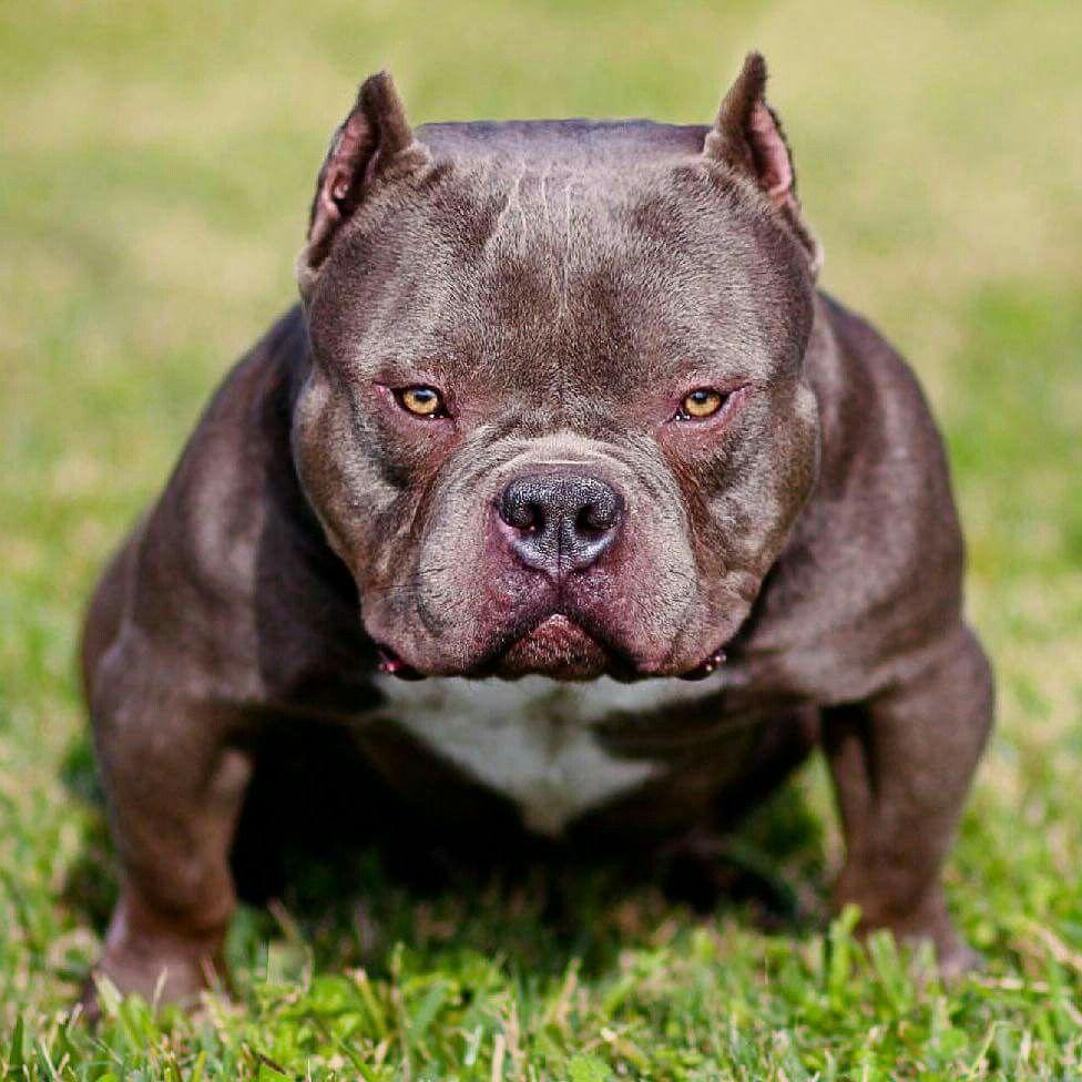 Yolo Open for Stud americanbully bully houston texas