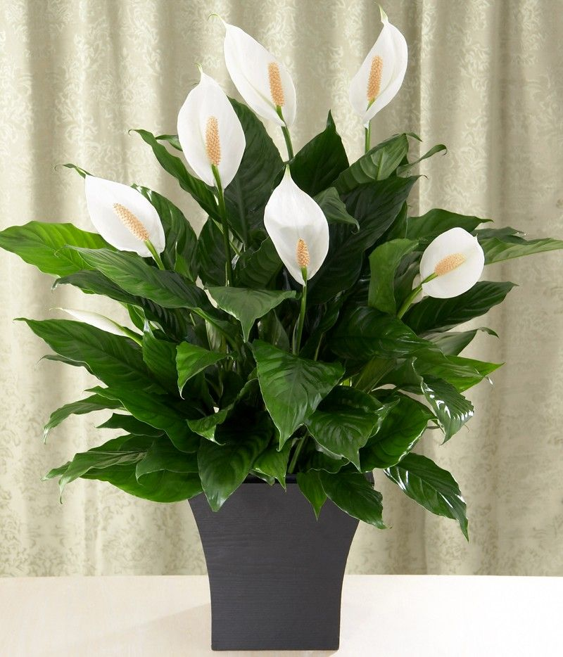 Peace lily care guide growing information and tips