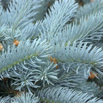 Picea Pungens Edith Blue Spruce Conifer