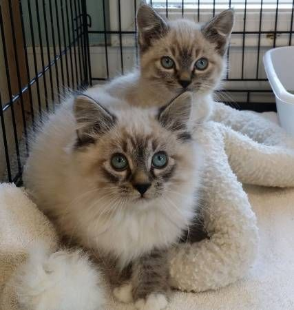 Gorgeous Lynx Point Siamese Brother Kittens Coming To Clackamas