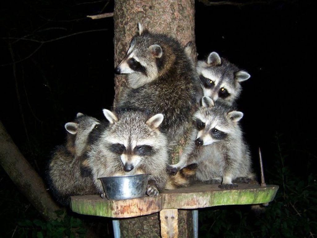 raccoons in my backyard raccoons backyardraccoons