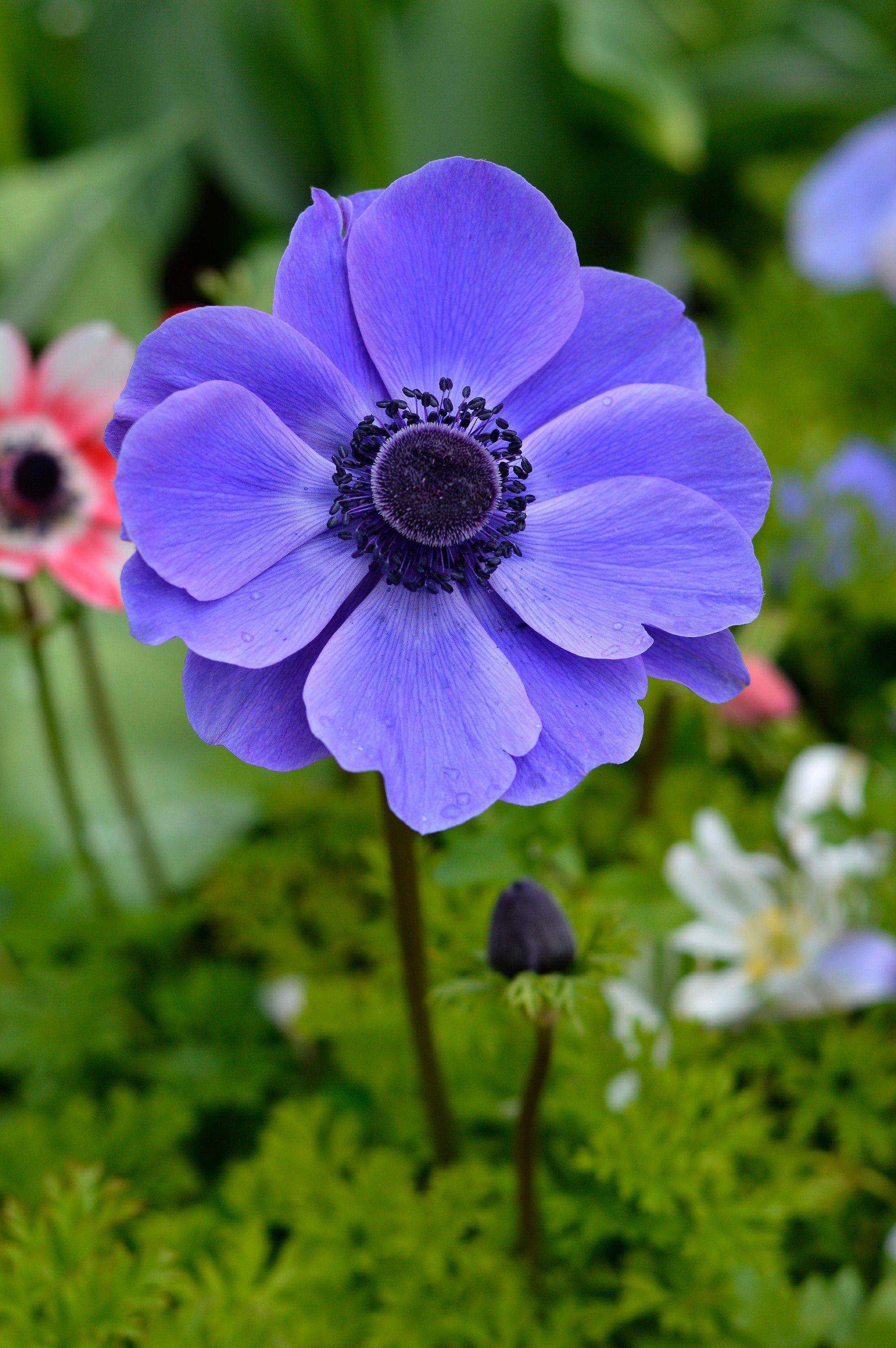 Anemone De Caen Mr Fokker Dutchgrown In 2020 Types Of Purple Flowers Anemone Flower Bulb Flowers