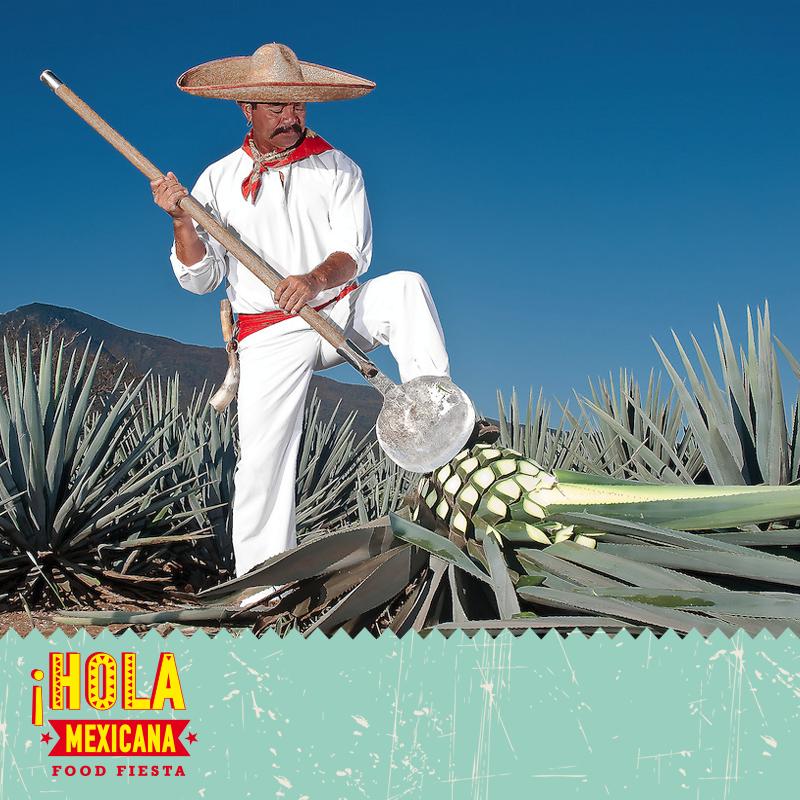 #HolaMexicana ...και .... από τα #ξημερώματα οι #Jimador ξεκινούν την δουλειά και άλλοτε θερίζουν, άλλοτε περιποιούνται τα φυτά και κόβουν τις άκρες τους. Αυτή η διαδικασία γίνεται με την βοήθεια του #Coa, ενός εργαλείου που μοιάζει με #φτυάρι, η άκρη του είναι εντελώς επίπεδη, τρομερά κοφτερή και μοιάζει με μικρό μεταλλικό πιάτο. Οι Jimador, αποτελούν ορισμένους από τους βασικούς πρωταγωνιστές της διαδικασίας ενώ συγκεκριμένα εκείνοι της Jose Cuervo δουλεύουν για την εταιρεία εδώ και…