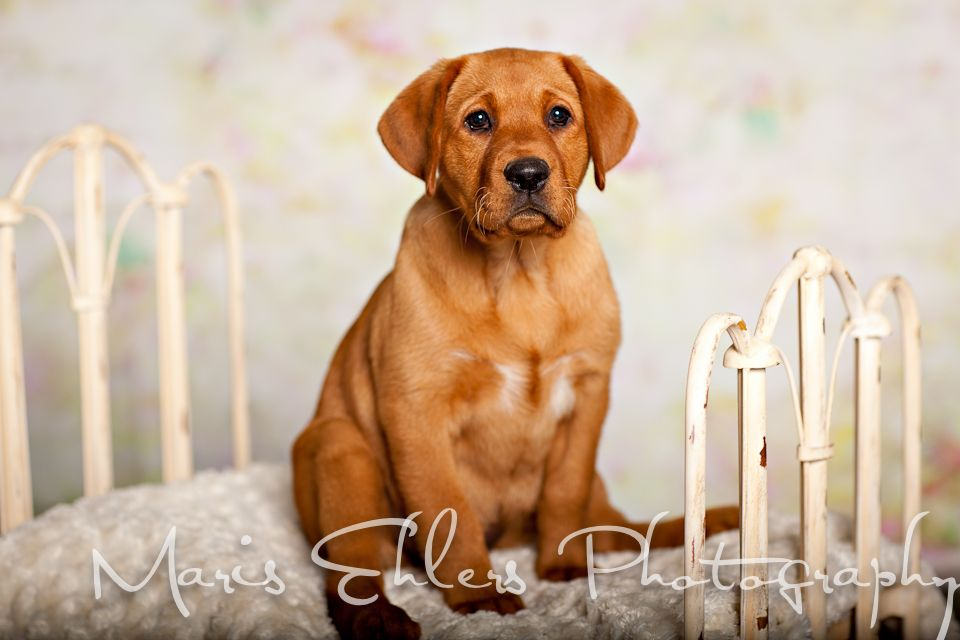 Puppy and Pet Portraits Maris Ehlers Photography MEP