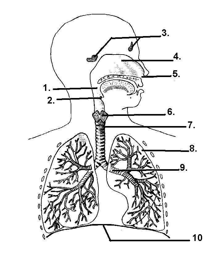 Worksheets The Human Respiratory System Worksheet 1000 images about respiratory system on pinterest lungs and human body