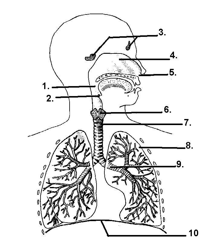 respiratory system diagram