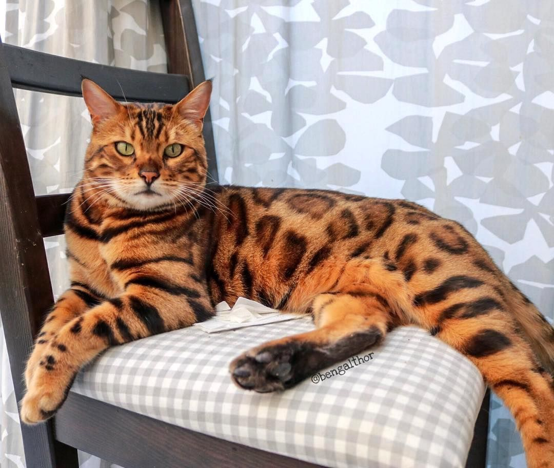A Belgian Bengal Cat Whose Deep Green Eyes And Unique Markings Make Him A Very Handsome Boy Bengal Cat Cats Bengal Kitten