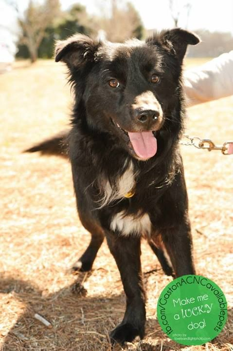 Adopt Carlin On With Images Border Collie Dog Pooch Collie