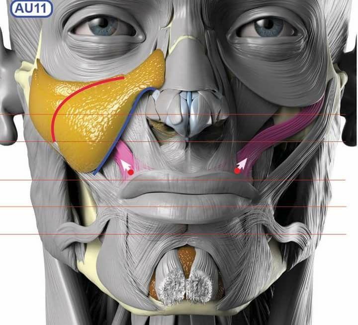 Pin von Jim Lonnevik auf Human Anatomy   Pinterest   Mimik, Kopf und ...